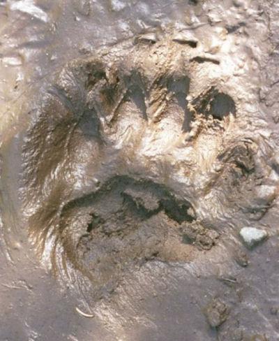 cougar tracks
