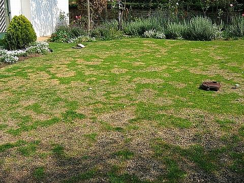 How to get rid of brown patches in your lawn the garden for How to fix dog urine spots on lawn
