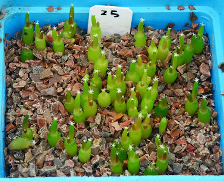 Propagation cacti from seed