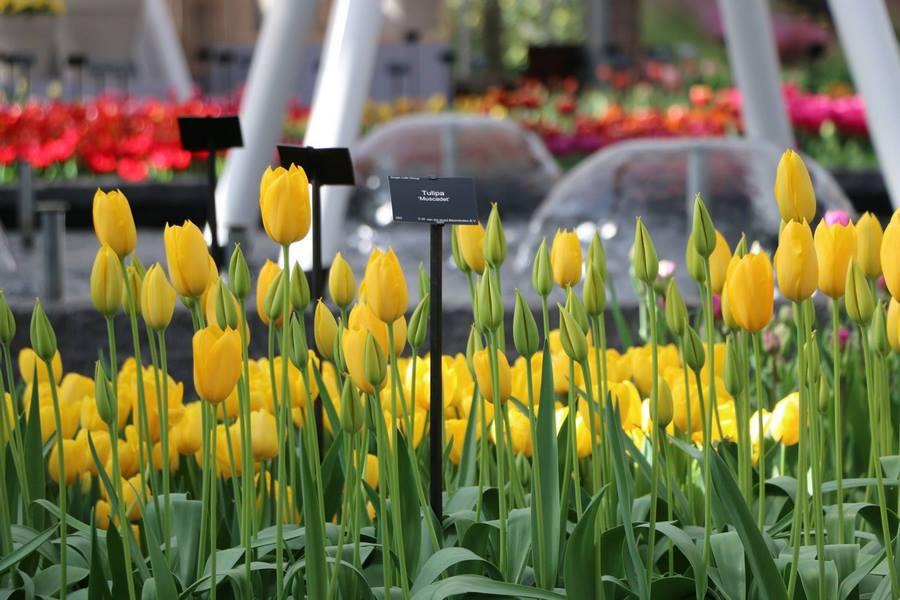 Tulipanes amarillos Keukenhof 2019 Flower Power