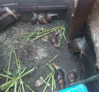 snail farm