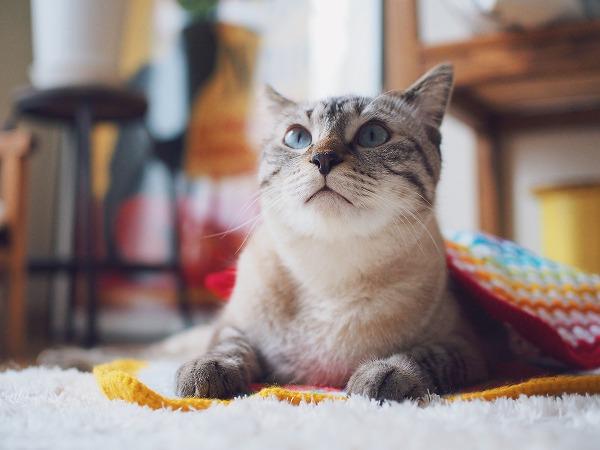 目覚めたシャムトラ猫