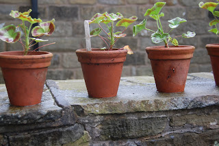 Geraniums in plant pots on the cloister wall