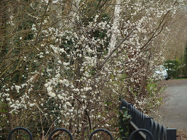 Warning blackthorn blossom in our front garden