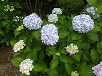 城北菖蒲園の紫陽花