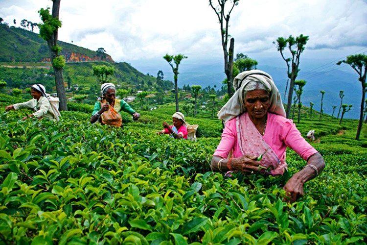 Sri Lanka çay tarlalarıyla ünlüdür, nerede olursanız olun her an bir çay tarlasına rastlarsınız.