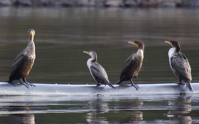 Immature Neotropic Cormorant among Double-crested Cormorants