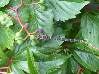 Libellule du Québec : Æschne constrictor - Aeshna constricta