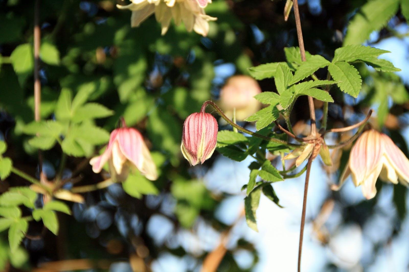 frk anemone nu blomstrer de tidlige clematis. Black Bedroom Furniture Sets. Home Design Ideas