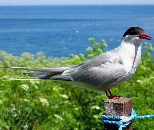 Birds of India - Image of Arctic tern - Sterna paradisaea