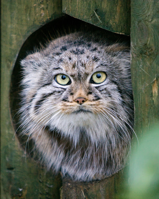 Manul the cat that time forgot the ark in space the cats immune system did not have a need to develop and so when they come in contact with us and other species this under developed immune system publicscrutiny Images