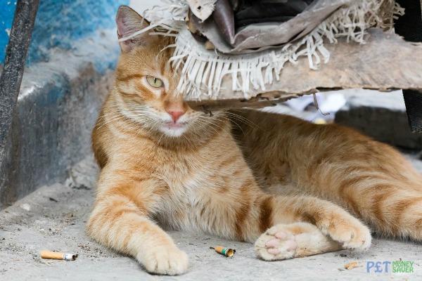 old havana cats