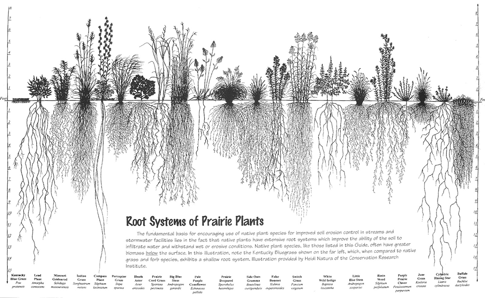 Nomination Root Systems Of Prairie Plants