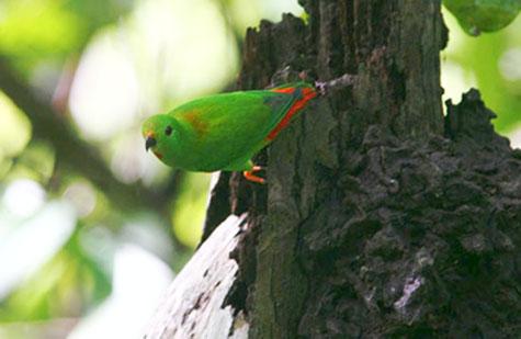 Di dunia internasional dikenal dengan nama  Mengenal Burung Serindit Maluku