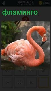 Птица фламинго розового цвета склонив шею стоит на берегу на фоне серых скал в дали