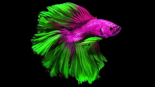 Ikan Cupang Ekor Terpanjang Di Dunia