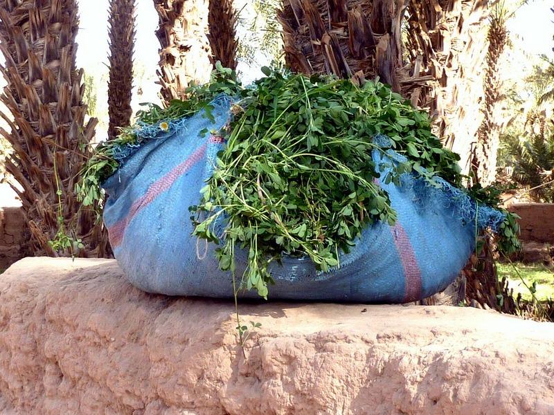 Hojas cilantro, coriandrum sativum, coriandro, coriander leaves