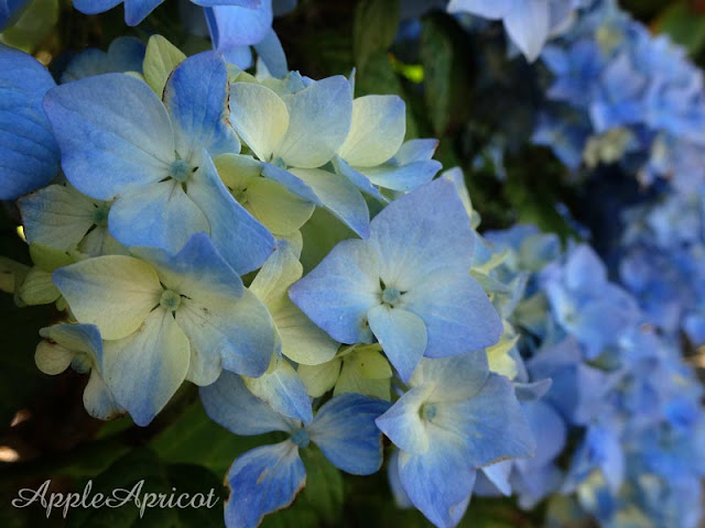 blue Hydrangeas photo by AppleApricot