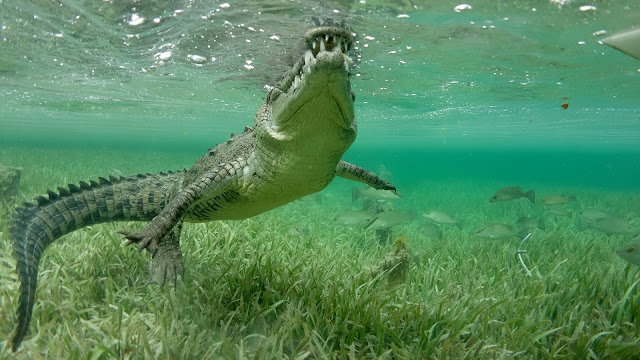 Crocodile ready for attack