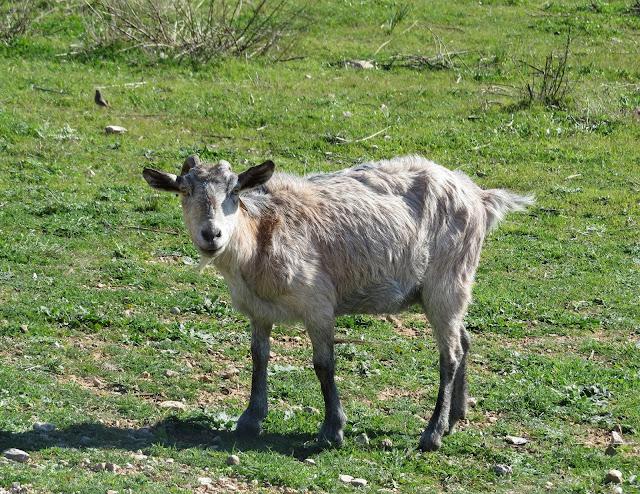 Goat - Boquer Valley