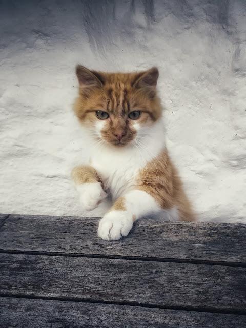 cute orange and white kitty