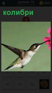 Птица колибри в полете с раскрытыми крыльями, в клюве у неё цветок розового цвета