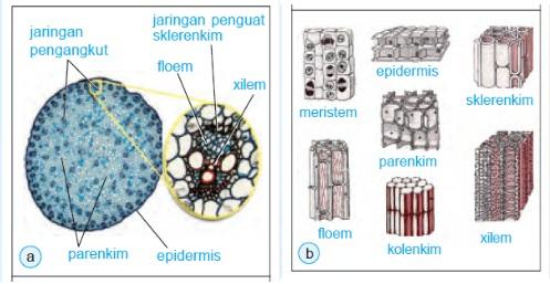 Jaringan blog pembelajaran ipa 31 a penampang melintang batang tumbuhan monokotil tampak berbagai jaringan yang menyusun batang b bentuk dan susunan jaringan pada tumbuhan ccuart Choice Image