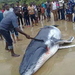 A baby whale was caught this morning within the Niger delta region, see photo