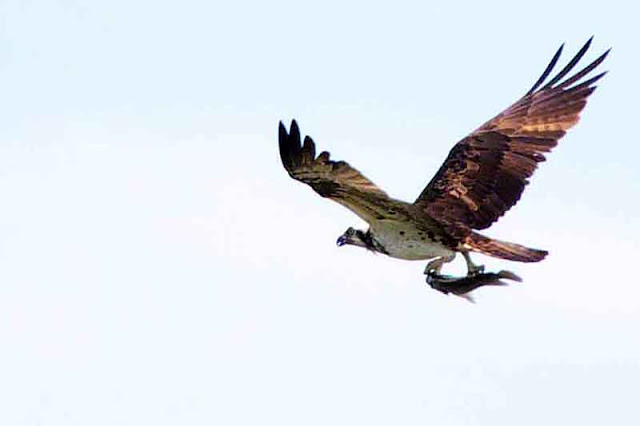 Osprey flying with a fish, Kin Dam, Okinawa