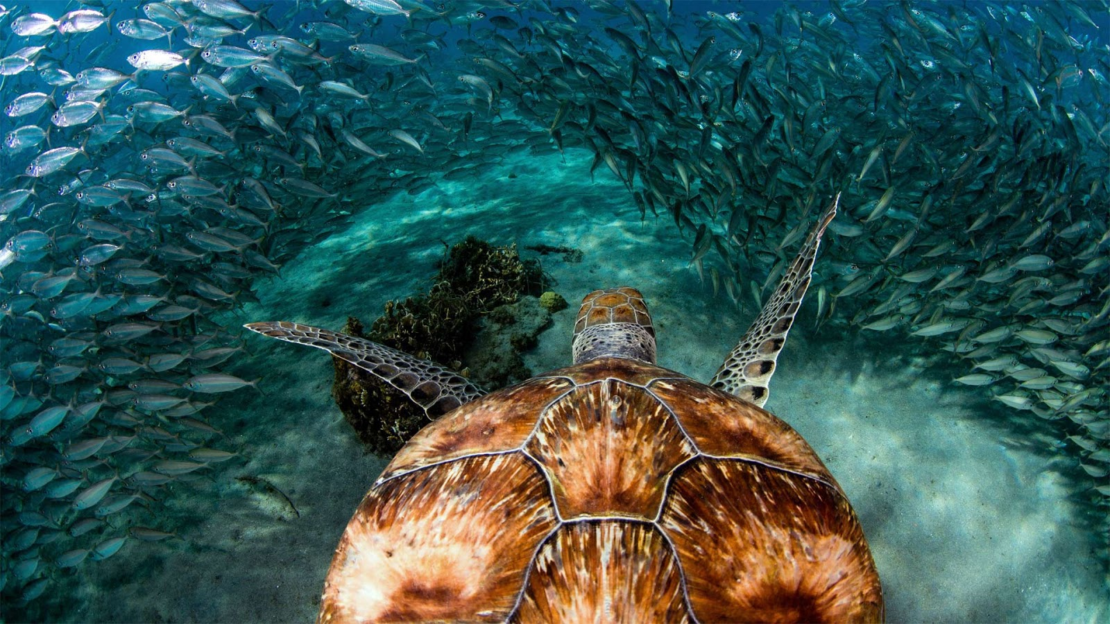 Green sea turtle with sardines near Playa Grandi, Curaçao © yfhishinuma/Getty Images Plus