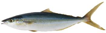 Peixe Rei (Elagatis bipinnulata)