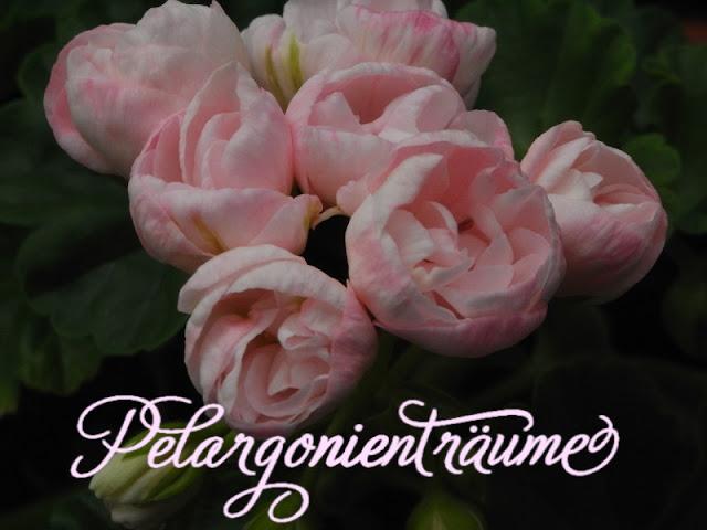 Tulpenpelargonie-tulpenblütige-Tulpengeranien