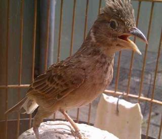 Burung Branjangan - Cara Ampuh Agar Branjangan Cepat Bunyi Setelah Mabung