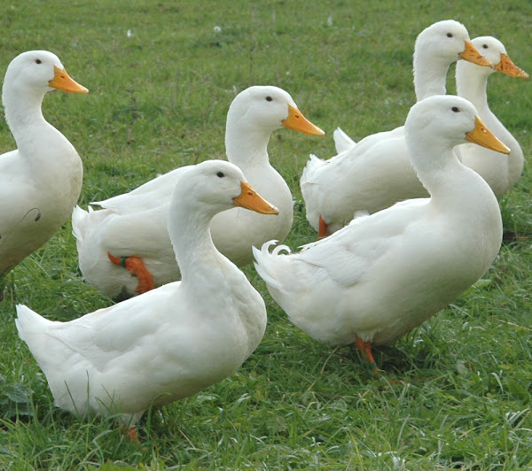 pekin duck pekin ducks pekin duck eggs color pekin duck eggs pekin - Pictures Of Ducks