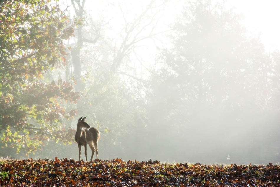 Eastern White-tailed doe in fog