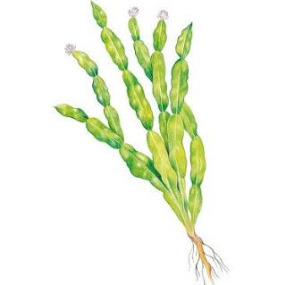 Carqueja, nome científico: Baccharis genistelloides