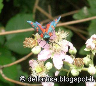 zigena falena nel giardino della fattoria didattica dell ortica a Savigno Bologna Valsamoggia vicino Zocca in Appennino