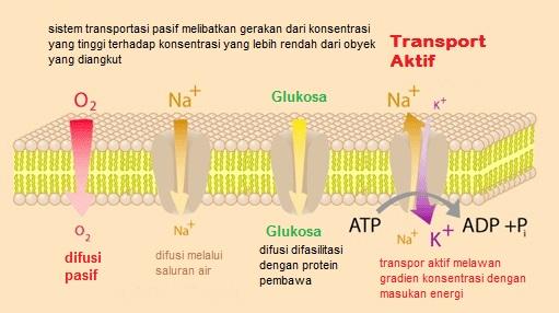 Struktur dan fungsi membran sel generasi biologi molekul dan ion dapat melewati membran plasma dengan dua cara yaitu transportasi pengangkutan pasif dan pengangkutan aktif ccuart Choice Image