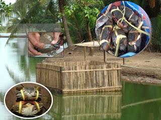 Kecamatan Cenrana memiliki potensi tambak denga luas areal ± 3.158,74 ha yang tersebar di 12 Desa, areal tersebut umumnya digunakan sebagai areal budidaya kepiting bakau yang dikelola secara tradisional dengan sistem polykultur antara ikan bandeng dan udang.  Dalam budidaya kepiting di tambak memerlukan air payau yang cukup, baik kualitas maupun kuantitas. Sumber air di Kecamatan Cenrana khususnya Desa Pallae berasal dari sungai Cenrana dimana sumber air tawarnya beasal dari hasil buangan dari beberapa kabupaten yang berada di sekitar danau tempe dan bermuara di desa Pusunge, Laoni dan Cakkeware.  Pada kondisi cuaca yang normal parameter kualtas air pada perairan di Desa Pallae yaitu berada pada kisaran 12 – 25 ‰, Menurut Ghufron (1997) salinitas yang optimal untuk kepiting bakau adalah 15 – 30 ‰. Jika dilihat kondisi salinitas perairan di Desa Pallae termasuk rendah namun jenis kepiting bakau yang dominan adalah kepiting bakau merah tergolong jenis kepiting yang cocok pada kondisi salinitas yang agak rendan dibanding dengan jenis kepiting bakau lainnya.  pH air yang umum di Kec. Cenrana 7 – 8 menurut Guratno (1993) dalam Hartina (1998) kisaran optimal untuk budidaya kepiting bakau adalah 6,5 – 8,5. Suhu perairan rata-rata yaitu 25 – 320C, menurut Gufron (1997) dan Hartina (1998) mengemukakan bahwa untuk budidaya kepiting dan di tambak suhu yang cocok adalah 23 – 320C. pH tanah rata-rata yaitu 6 – 7,5, sedangkan menurut Ghufron (1997) bahawa tanah yang baik untuk dijadikan lahan tambak mempunyai pH kurang lebih 6,5 – 8,5. Tanah yang memiliki pH rendah dapat diatasi dengan jalan reklamasi (pencucian), atau dengan melakukan pengapuran.  Sumberdaya Manusia Jumlah Rumah Tangga Perikanan (RTP) di Kecamatan Cenrana yang melakukan kegiatan budidaya di tambak yaitu 1.361. Tingkat pendidikan rata-rata tamat SD atau sederajad, memiliki kemampuan yang diperoleh dari hasil pengalaman petani lainnya dan bimbingan dari Penyuluh Kelautan dan Perikanan. Pengalaman berusaha rata-rat