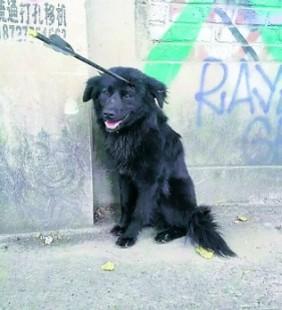Meski Tertusuk Panah, Anjing Ini Tetap Hidup