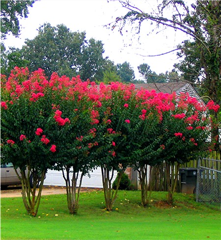 how to grow crape myrtle from a cutting