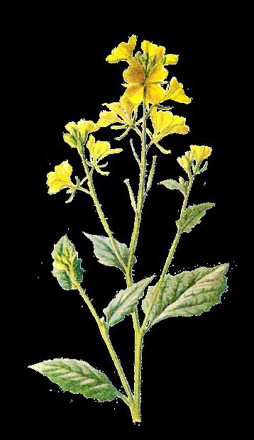 antique free digital wildflower
