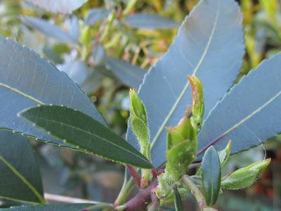 Afidi sulla Nuova Vegetazione Arbutus unedo
