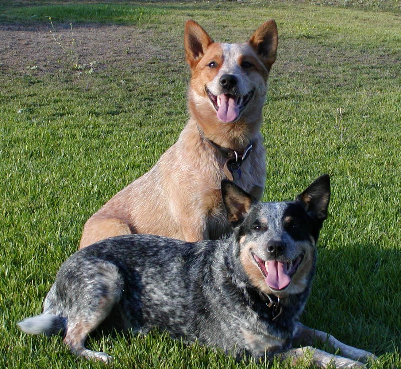 Australian Cattle Dog on Pinterest | 52 Pins