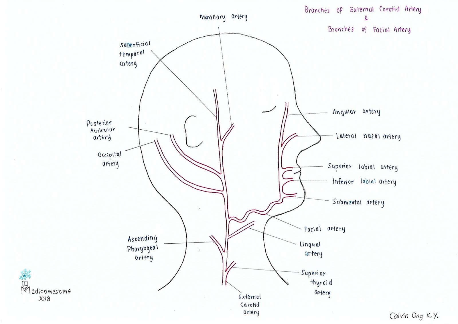 Medicowesome Arterial Supply Of The Head Amp Neck In A