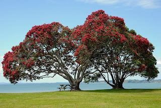 Two large trees with red flowers on grassy field overlooking the ocean, There is a bench under the tree on the left.
