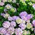 Chùm ảnh Hoa cẩm tú cầu đẹp không chớp mắt
