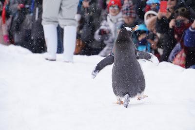 歩くジェンツーペンギン