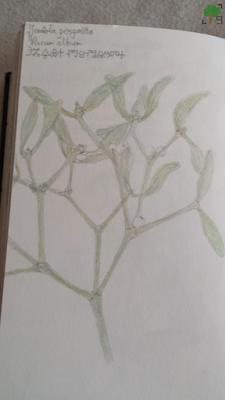 roślina, półpasożyt, święta, słowianie, zielnik, miotła piorunowa, dusza zewnętrzna, baldur