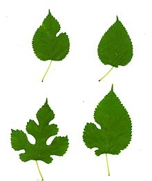 Morus_alba-leaves.jpg